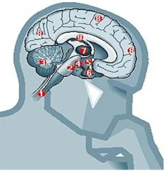 cerebro - copia